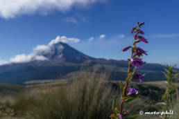 Flower with Popocatepetl in background
