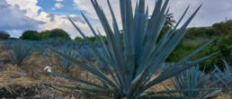 tequila-agave tequila-routa del tequila